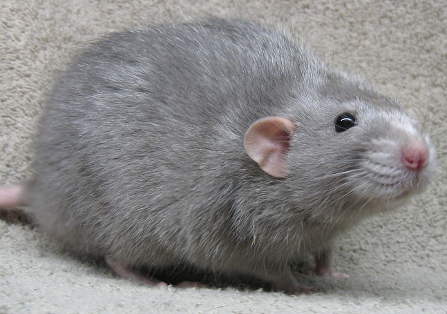 blue russian dumbo rat